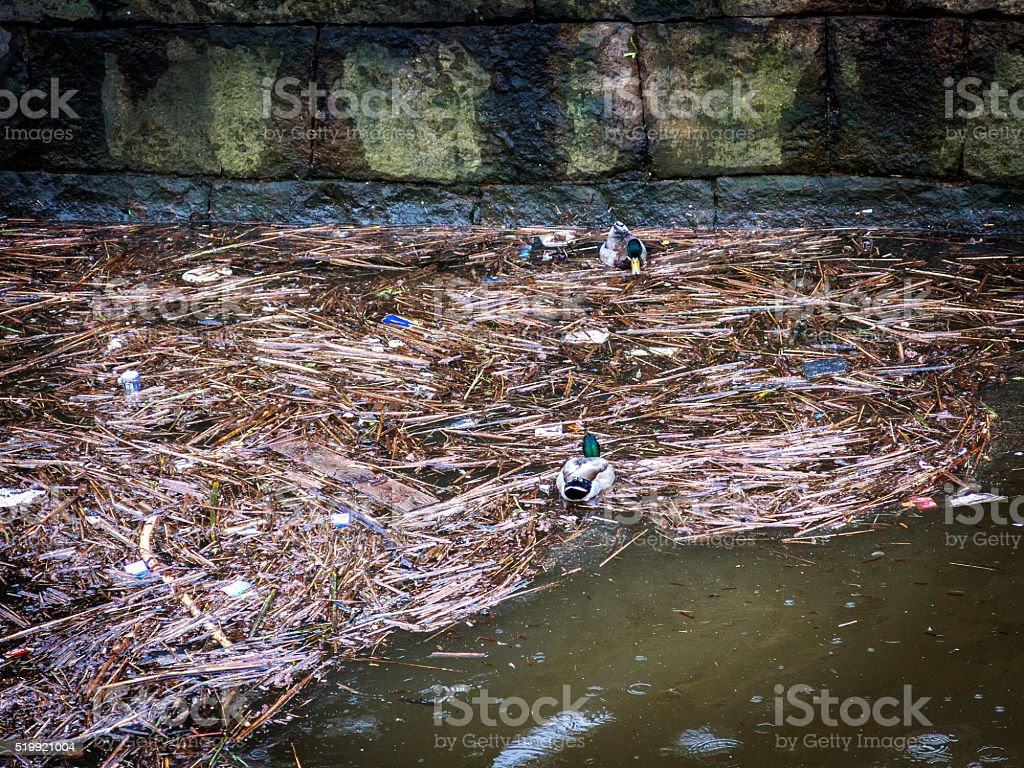 Ducks in polluted water stock photo