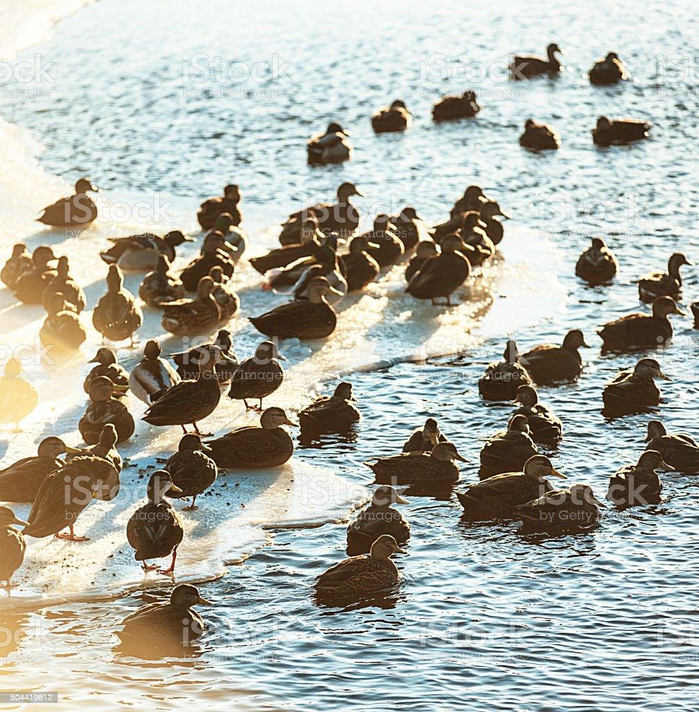 Ducks in Spring Sunlight stock photo