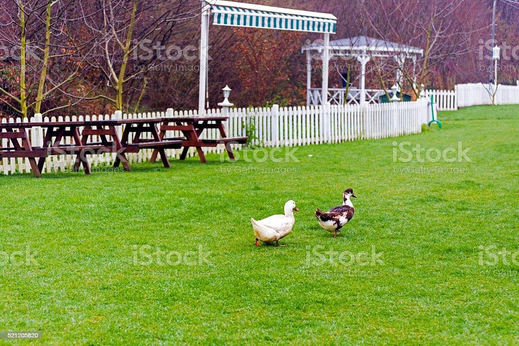 Ducks in the garden stock photo