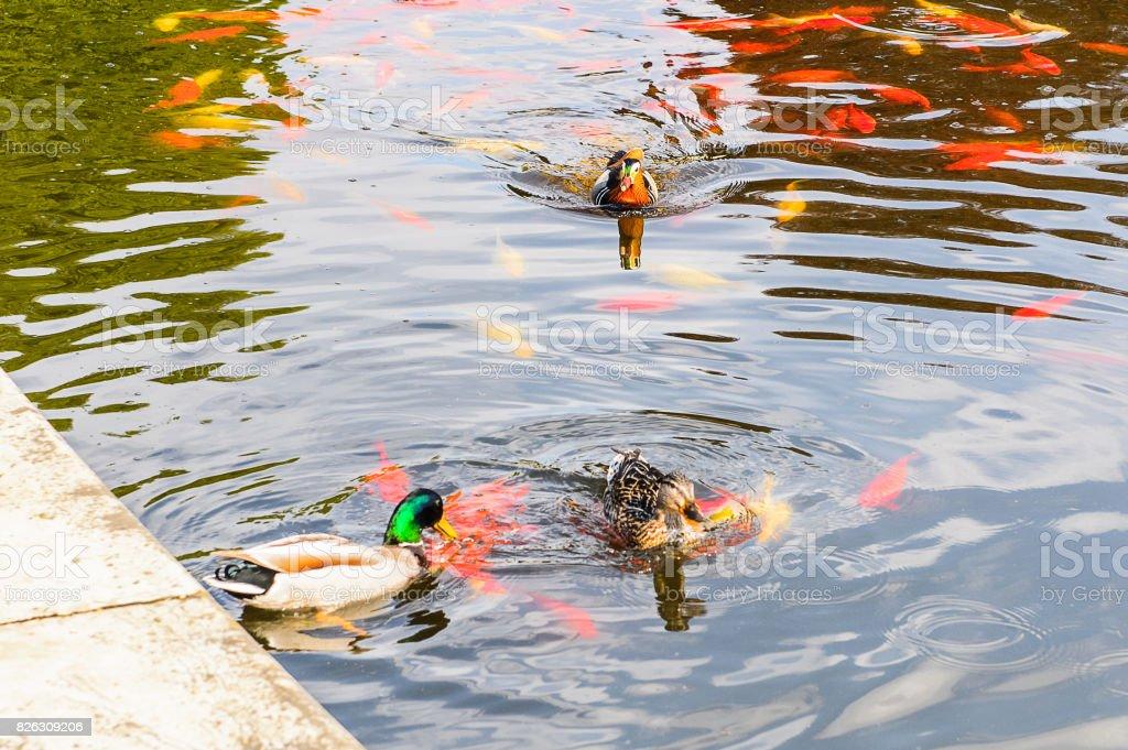 Ducks in the lake stock photo
