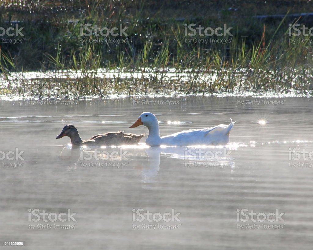 Canards dans la brume le matin photo libre de droits
