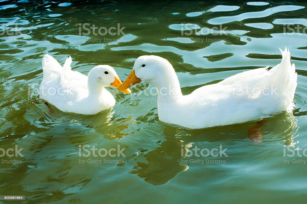 Ducks in the natural environment stock photo