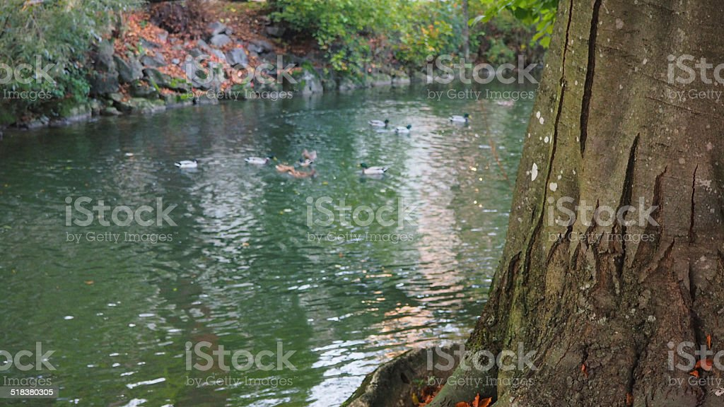 Enten im Fluss stock photo