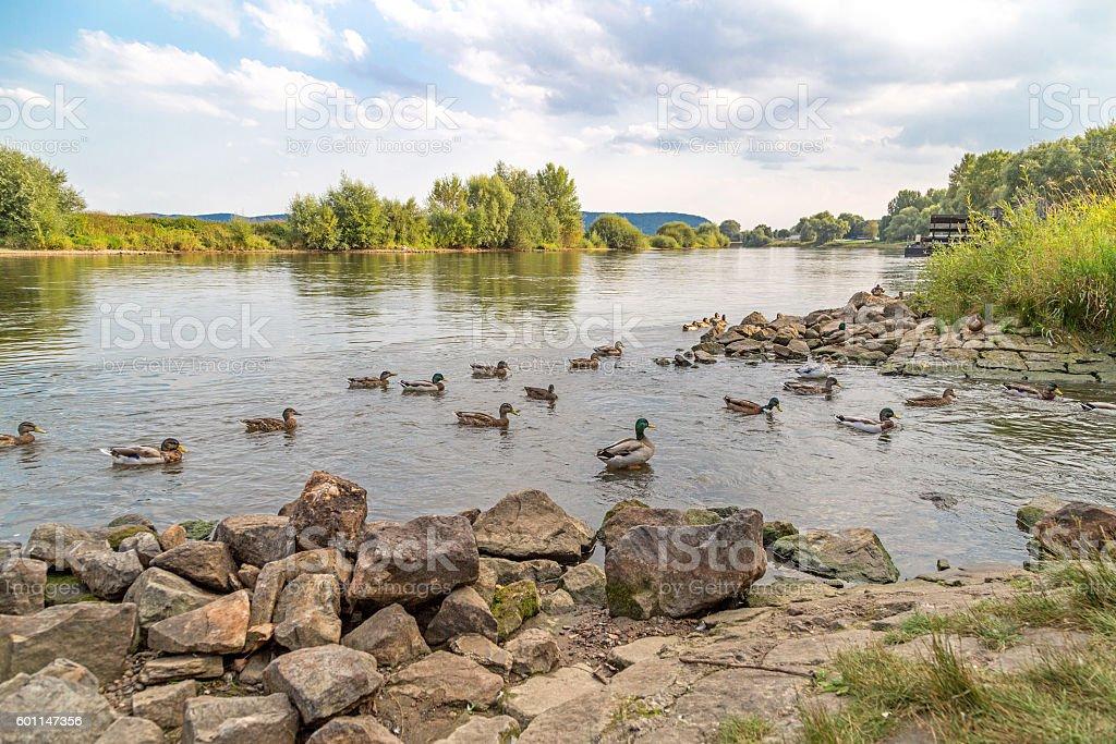Ducks in the river Weser stock photo