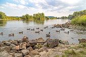 Ducks in the river Weser