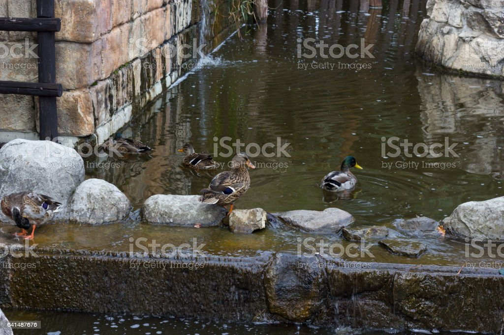 Ducks in the stream stock photo