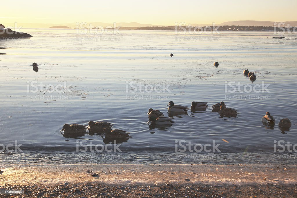 Ducks in the water at sunset. royalty-free stock photo