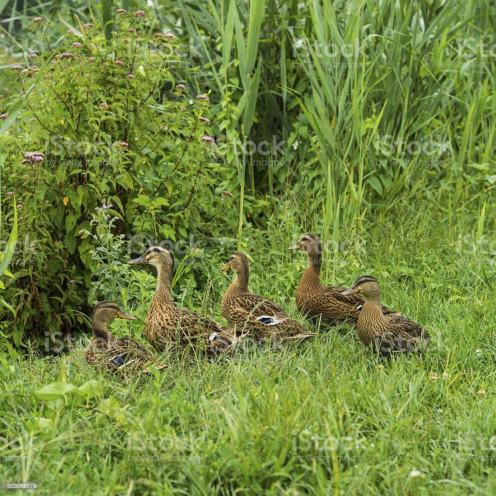 Ducks in the wild stock photo