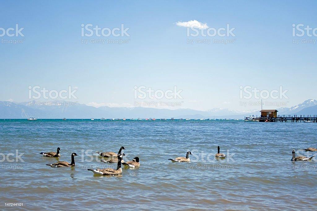 ducks en agua foto de stock libre de derechos