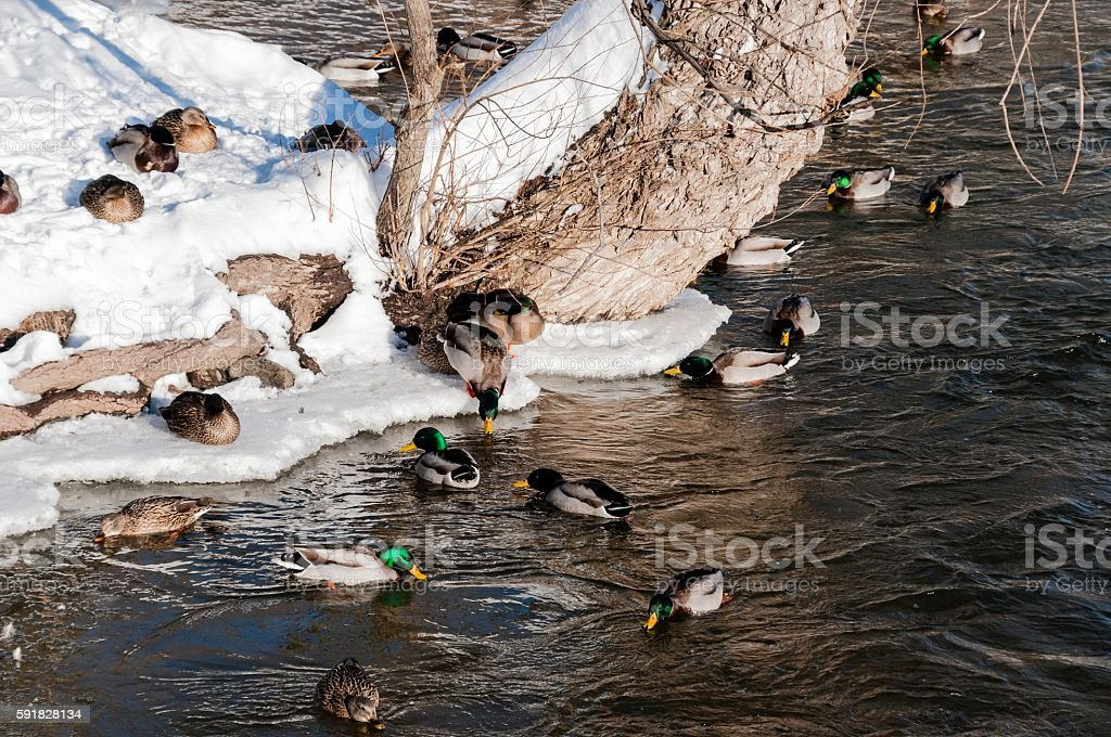 Ducks in Winter in City Park Rochester, Michigan stock photo