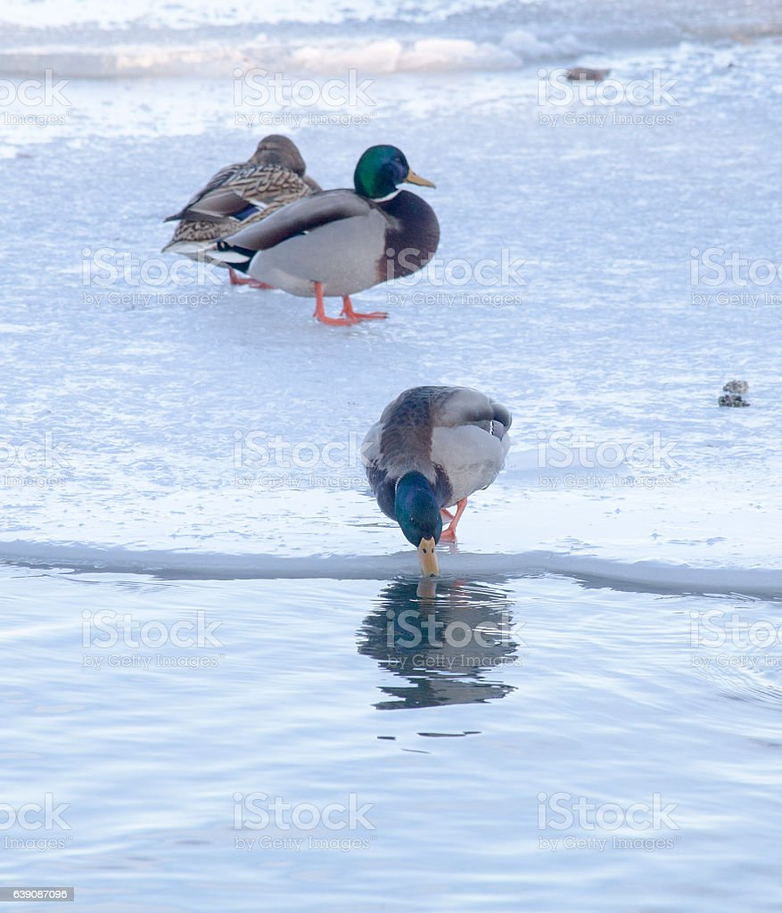 Canards en hiver stock photo