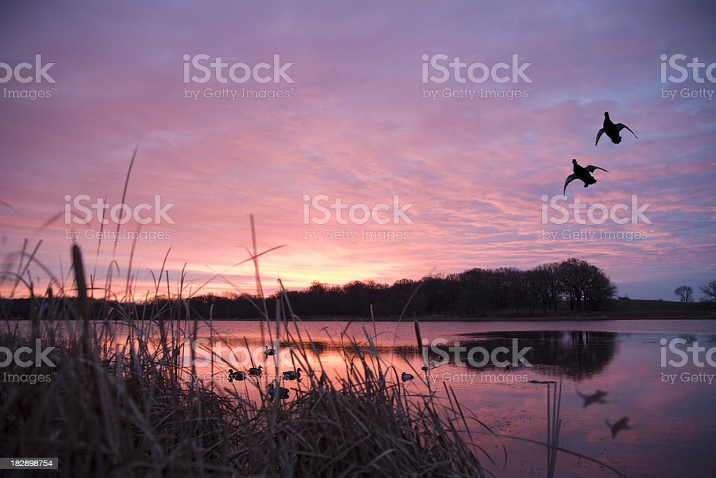 Ducks landing at sunrise stock photo