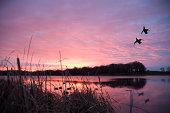 Ducks landing at sunrise