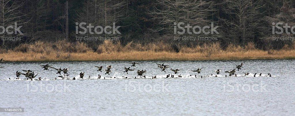 Ducks Landing stock photo