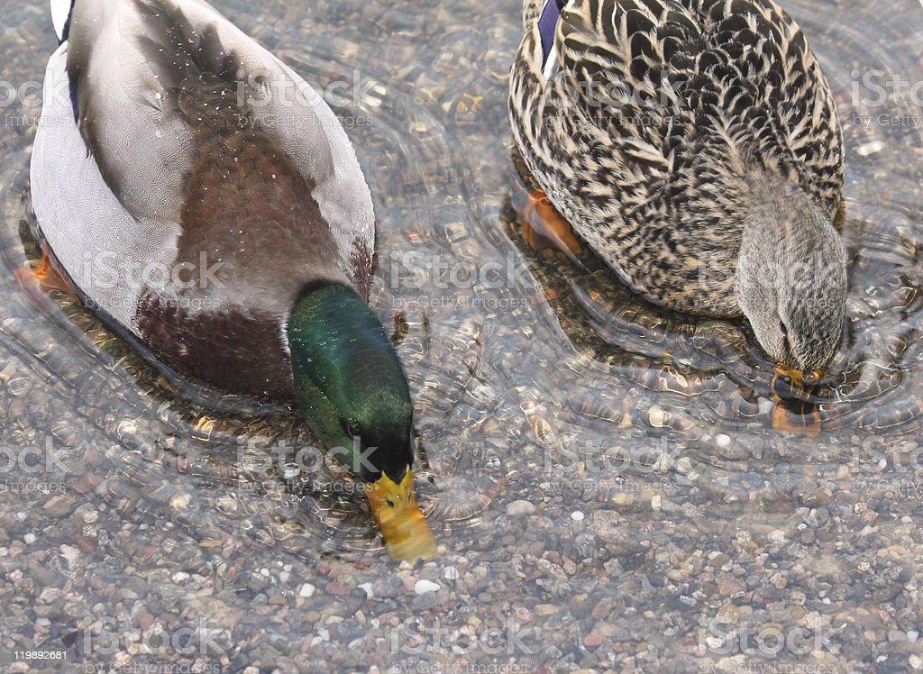 ducks - male and female stock photo