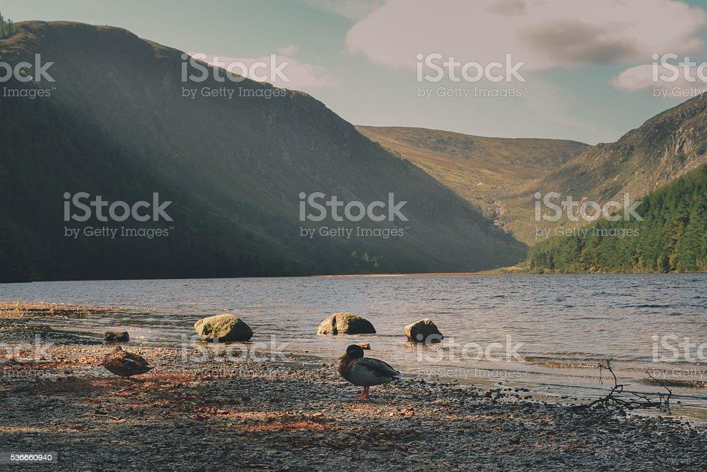 Ducks on a lake's shore stock photo