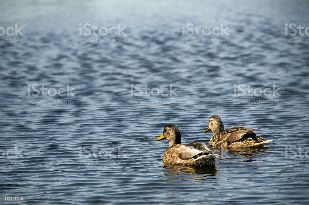 Ducks on a Pond stock photo