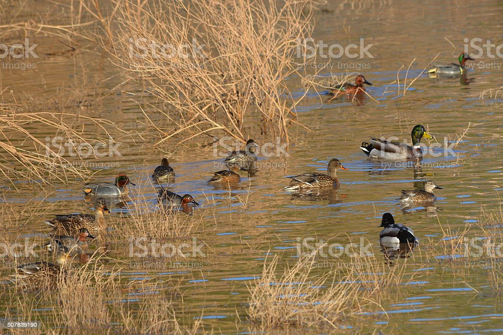 Ducks on a pond stock photo