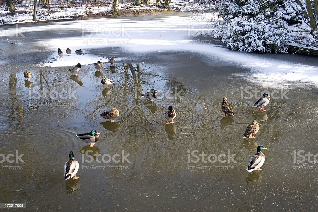 Ducks on frozen pond royalty-free stock photo