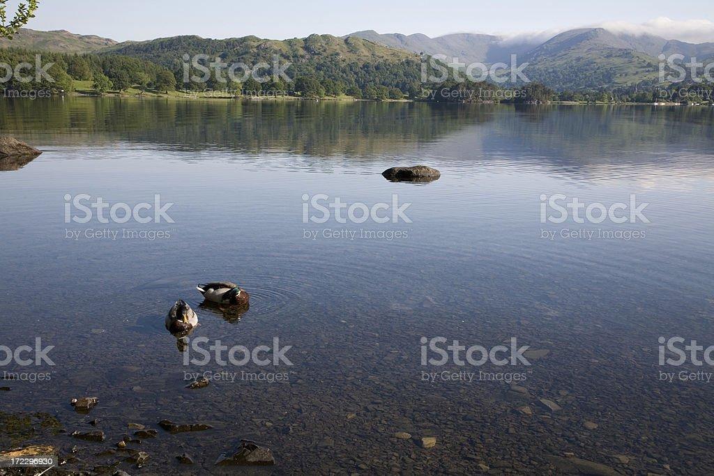 Ducks on Lake Windemere royalty-free stock photo
