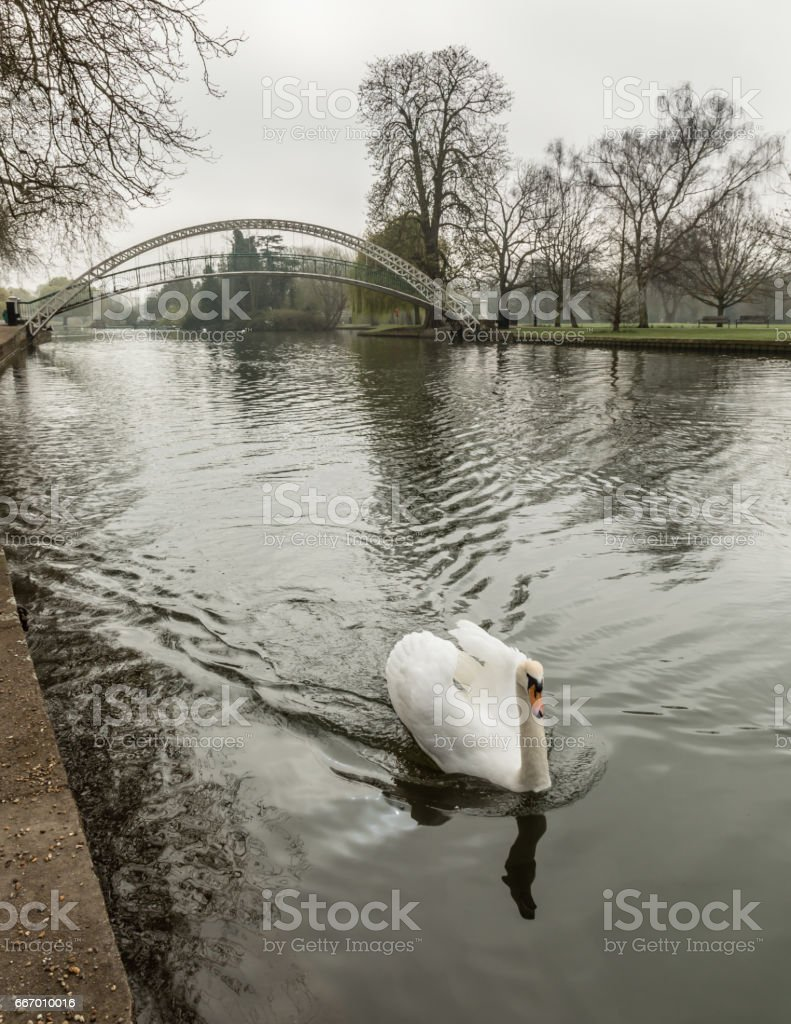 Ducks on River Great Ouse in Bedford with suspension bridge stock photo