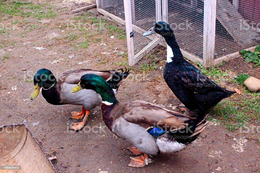 Ducks on the farm stock photo