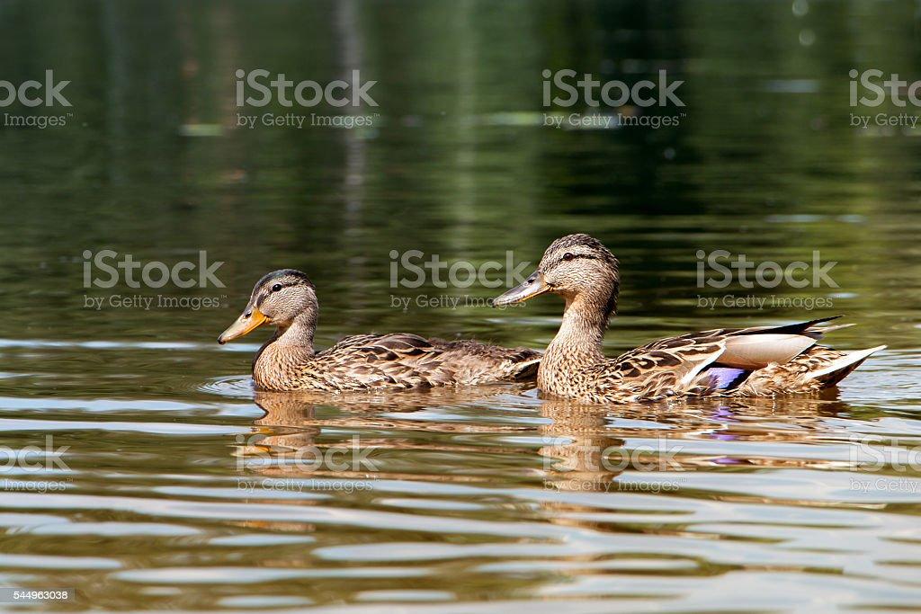 Ducks on the pond stock photo