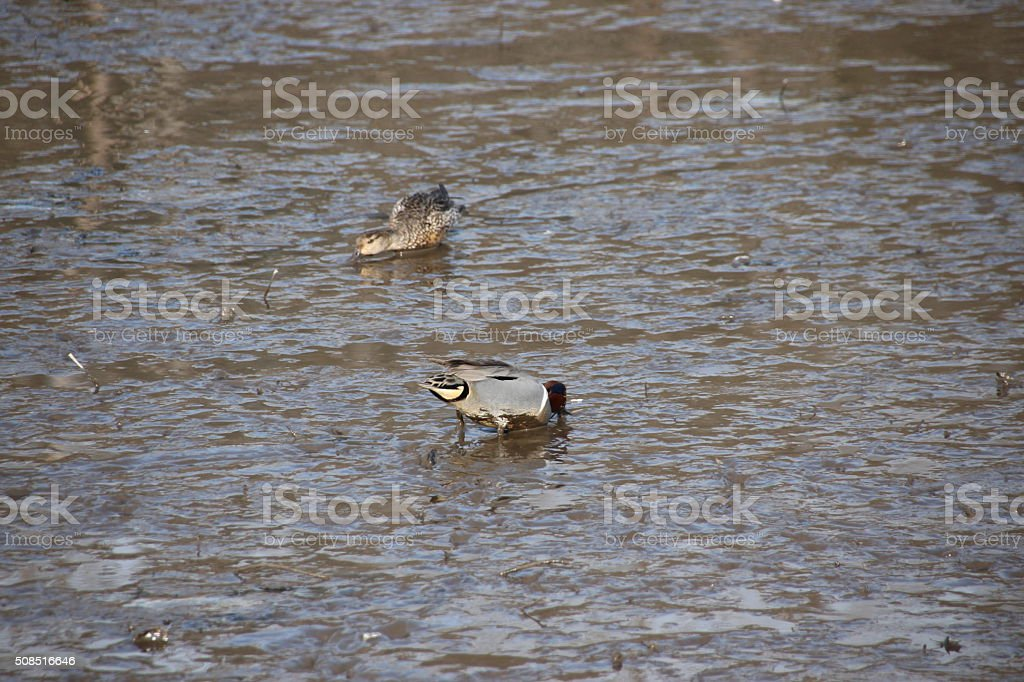 Ducks on tidal flats stock photo