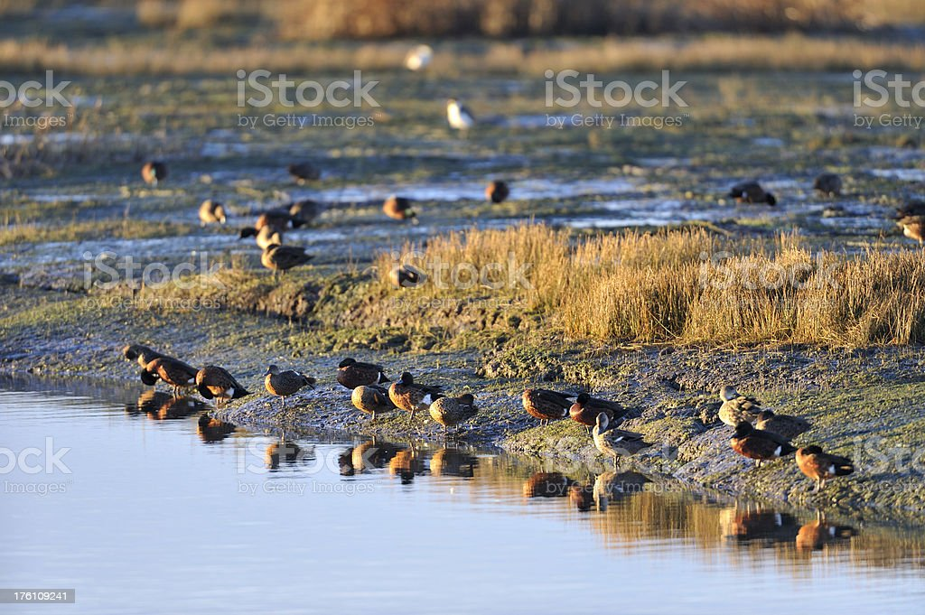ducks on water edge stock photo