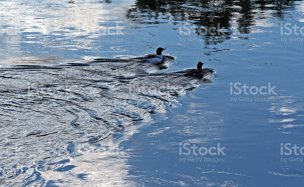 Ducks paddling in Bighorn River in Thermopolis Wyoming WY stock photo