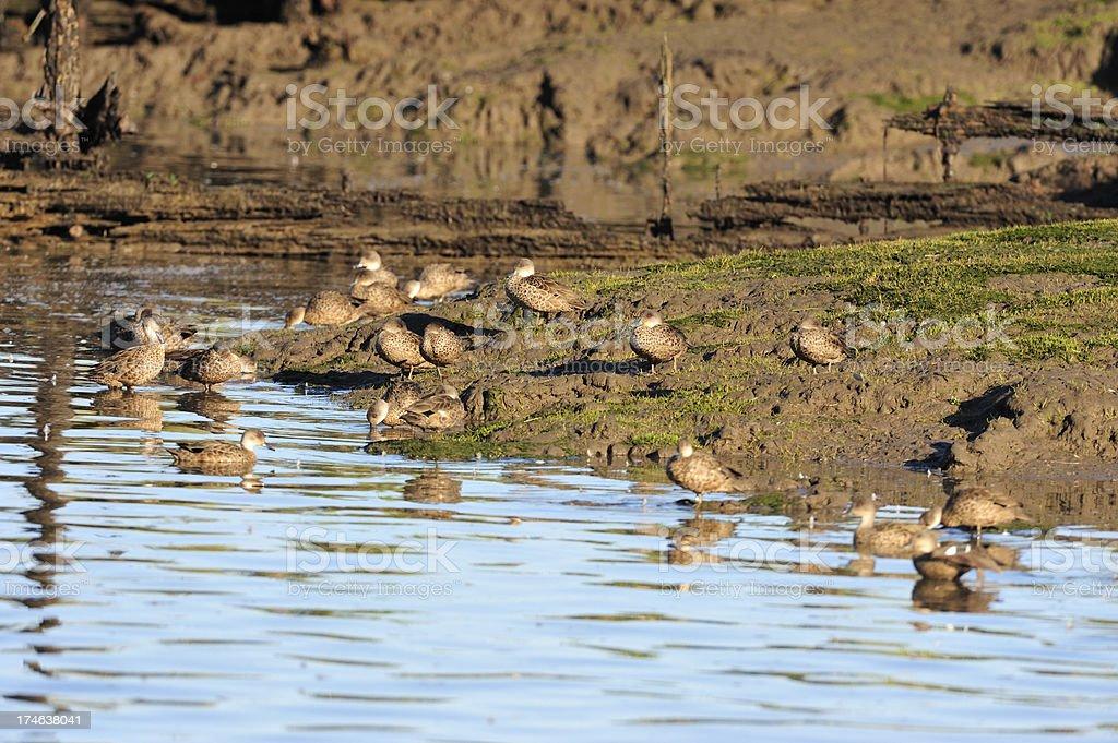 ducks stock photo