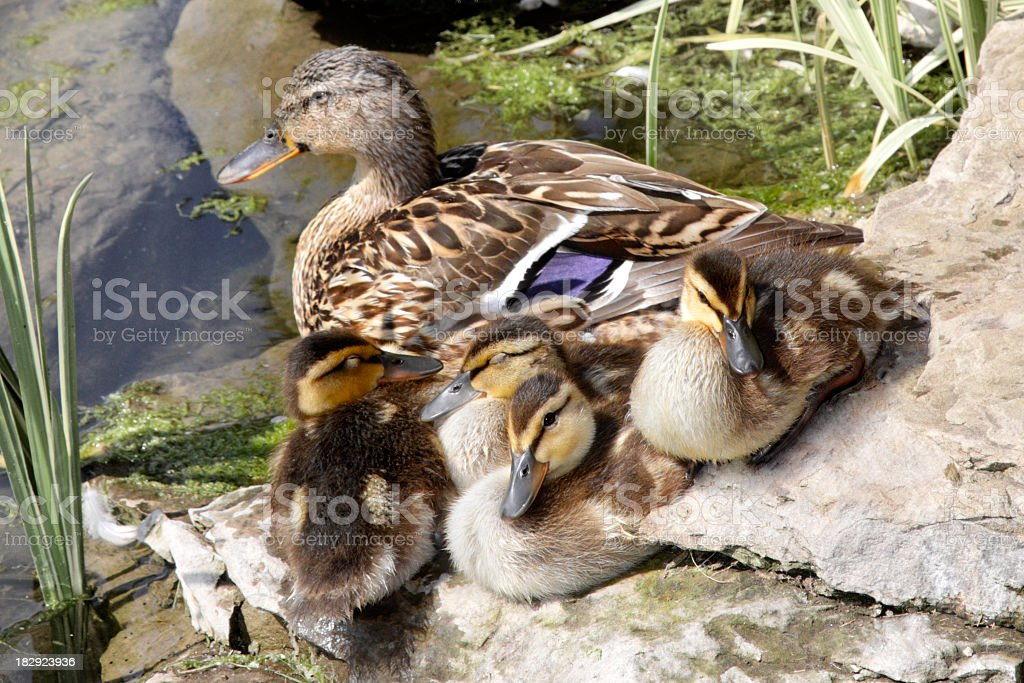 Ducks royalty-free stock photo