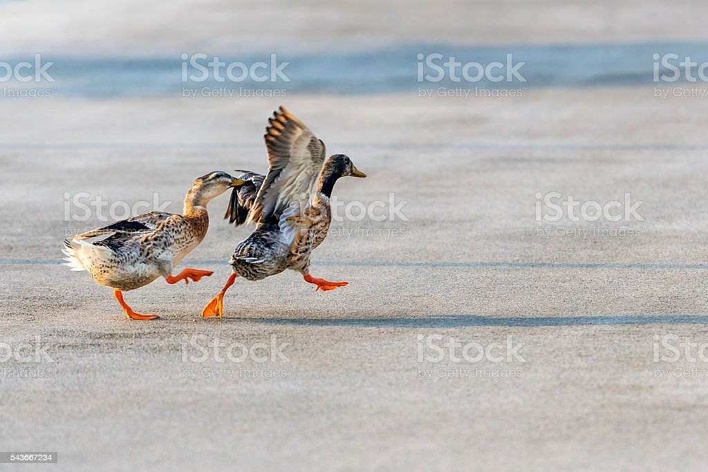 Ducks stock photo