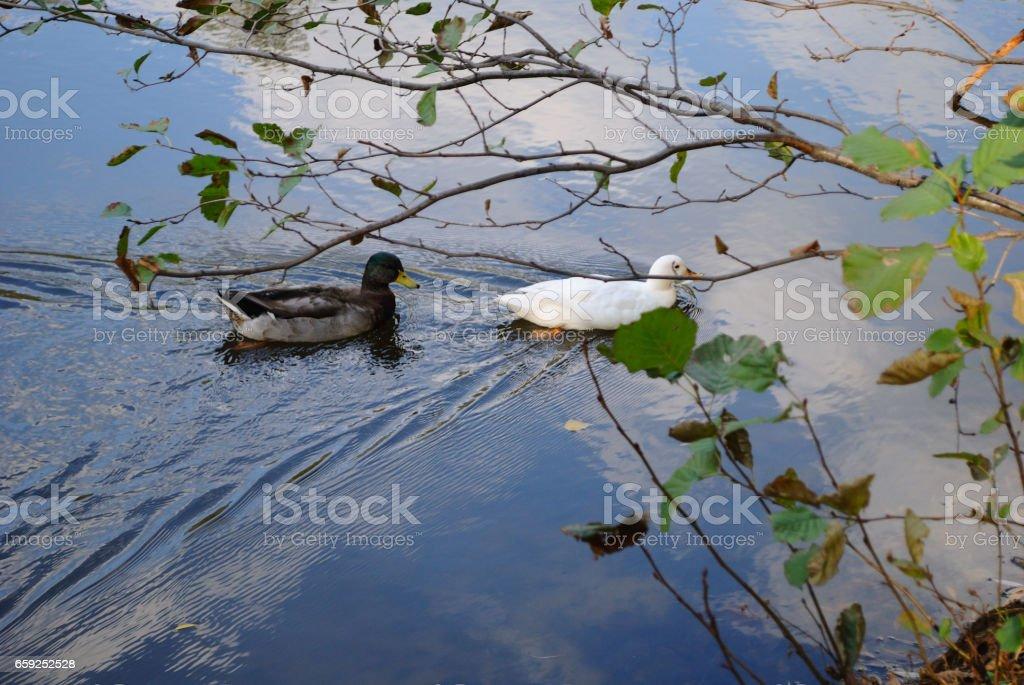Ducks. stock photo