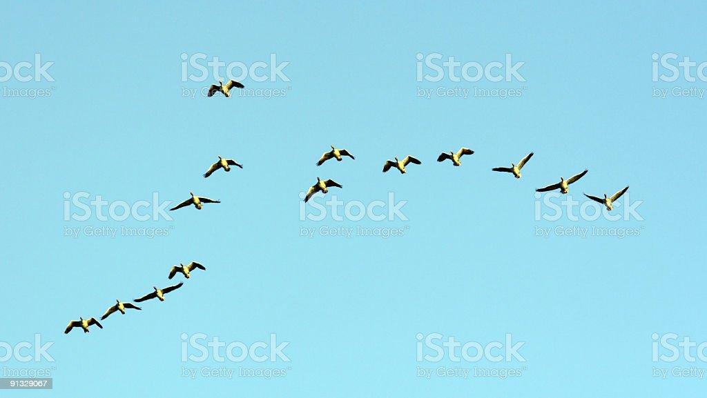 ducks royalty-free stock photo