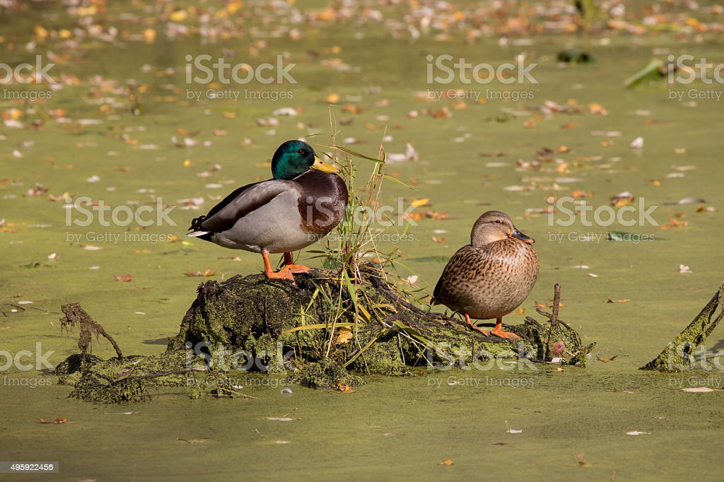 Ducks resting on a pond in fall stock photo