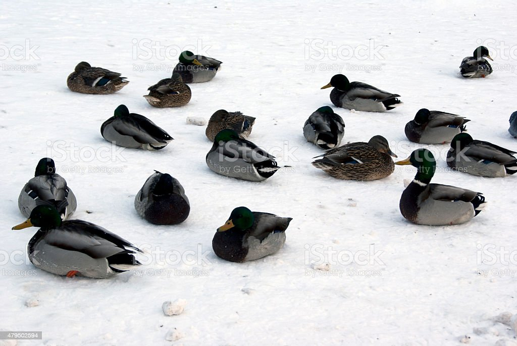 Ducks resting on ice stock photo
