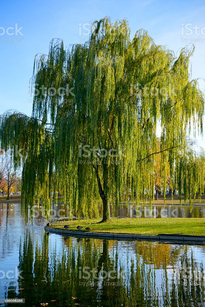 Ducks Serenely Resting Under A Flowing Weeping Willow stock photo
