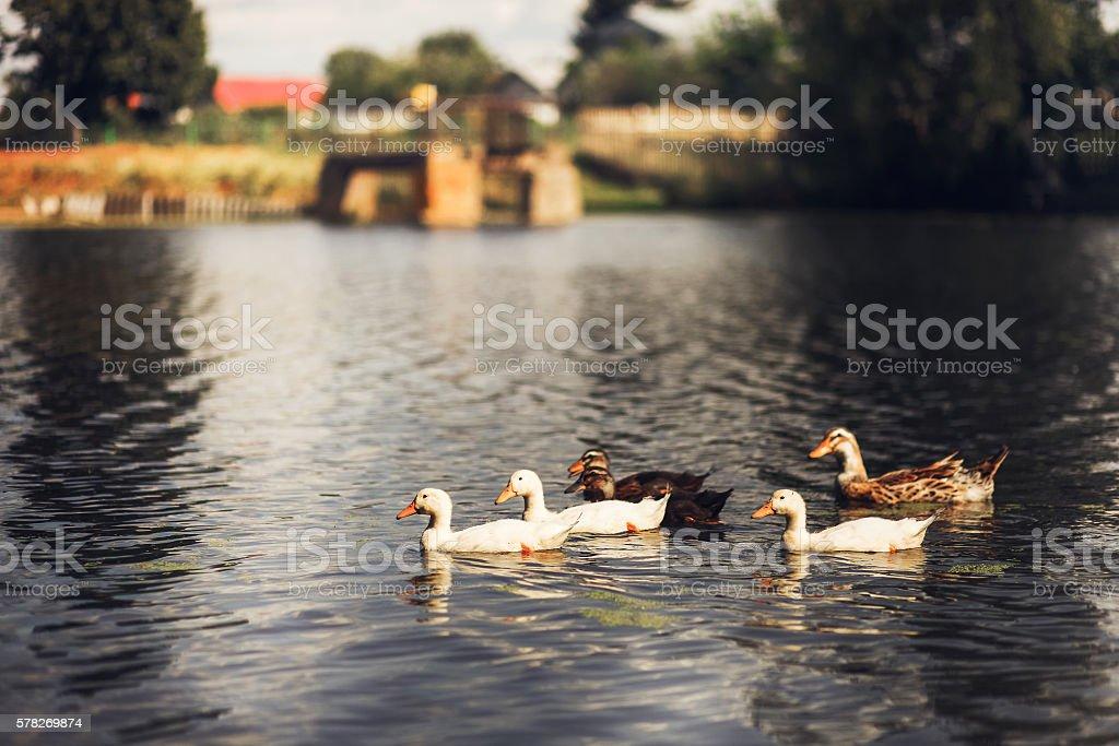 Ducks swim in pond. stock photo