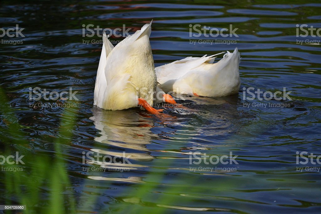 Ducks swim in the river, dived for fish stock photo