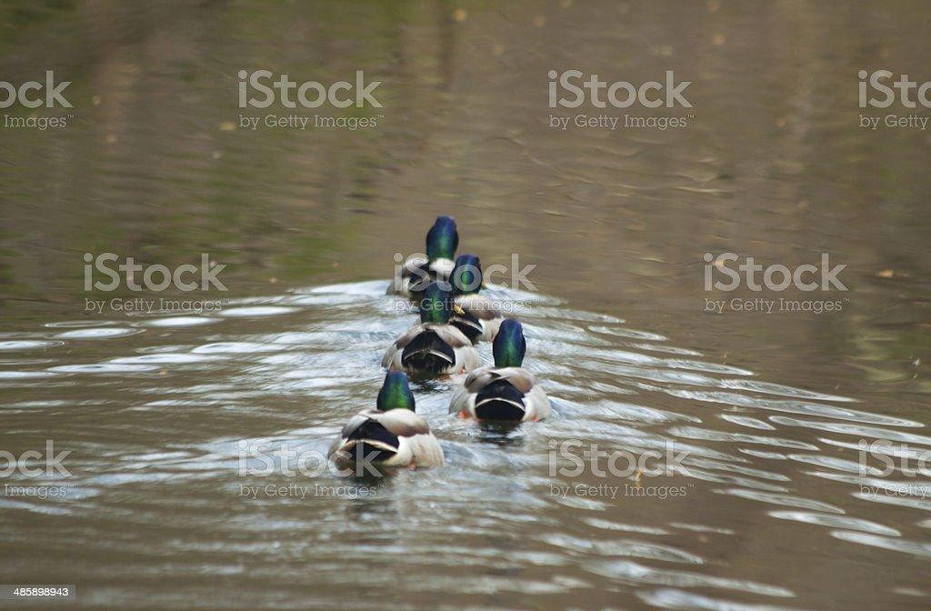 Ducks Swimming Away in Water stock photo