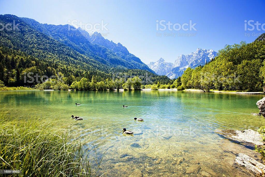 Ducks swimming in mountain lake royalty-free stock photo