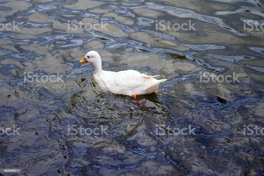 Ducks swimming stock photo