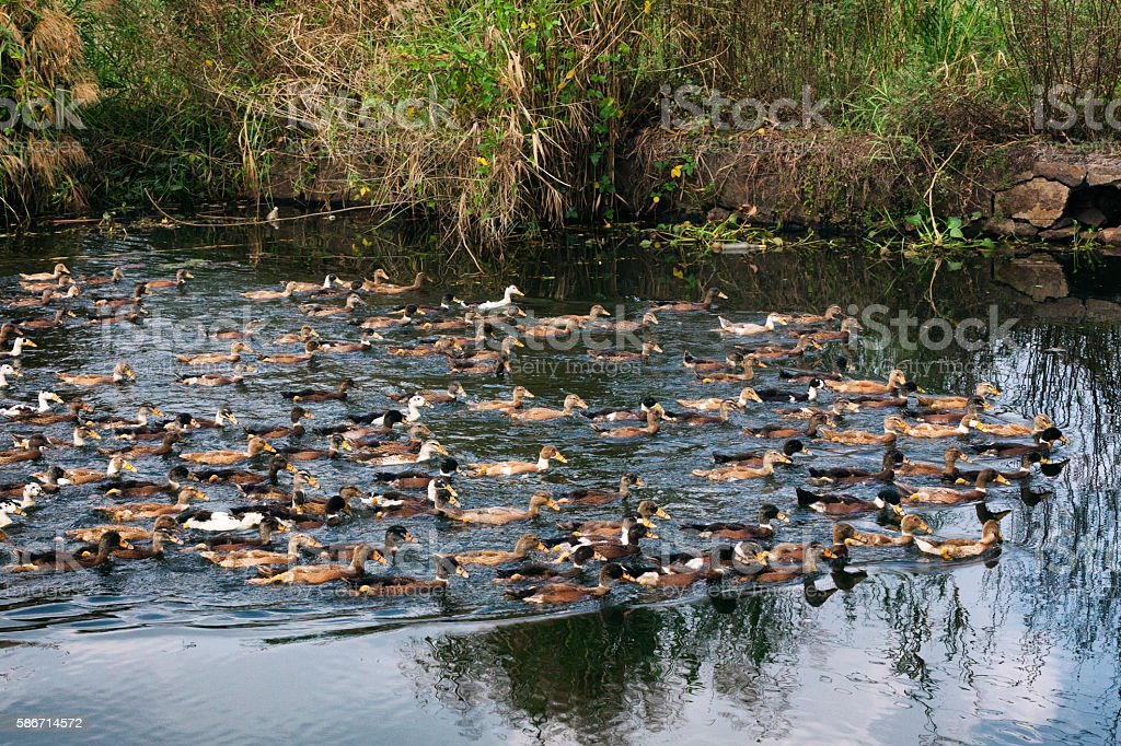 Ducks swimming the Kerala Backwaters in India stock photo