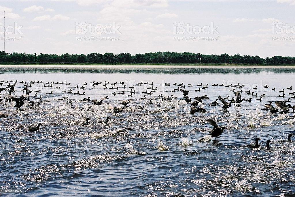 Ducks taking flight royalty-free stock photo