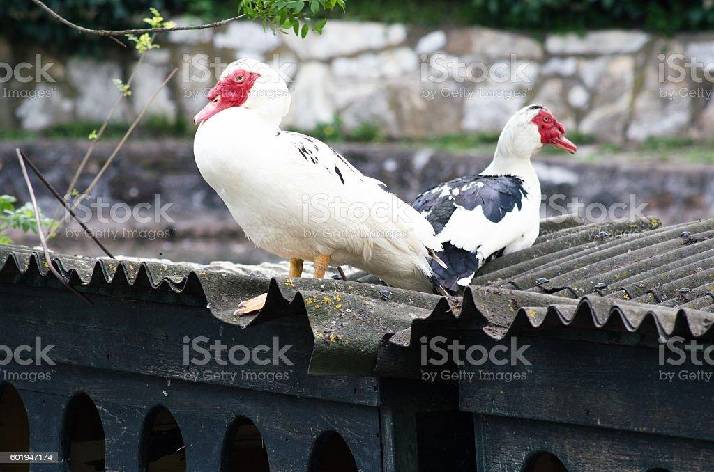 Ducks view royalty-free stock photo