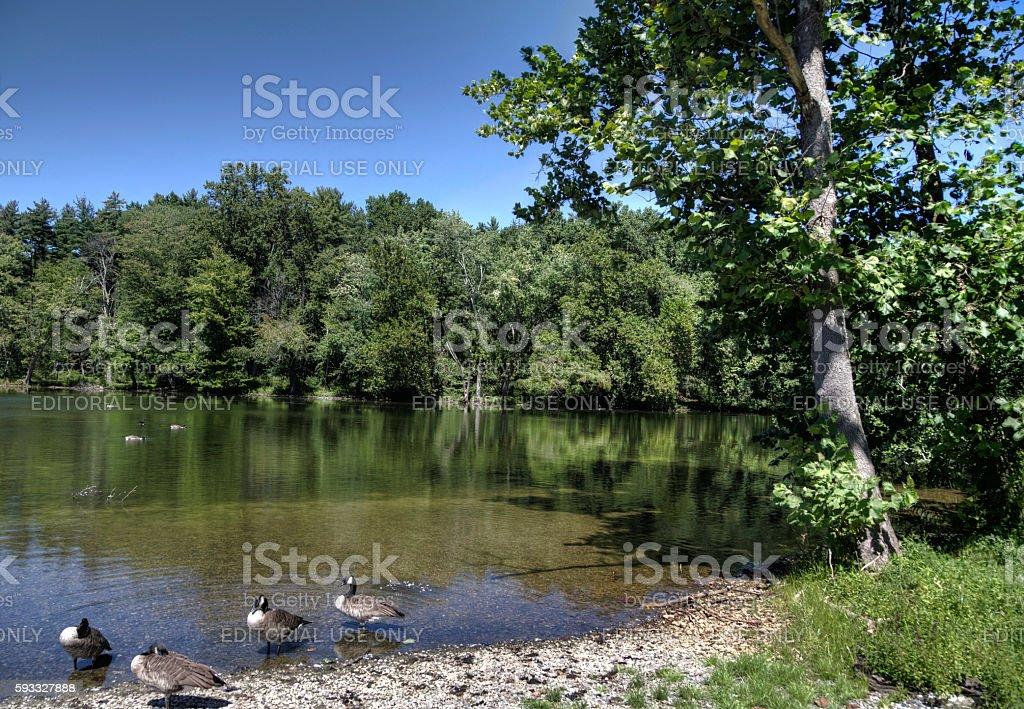 Ducks wading stock photo