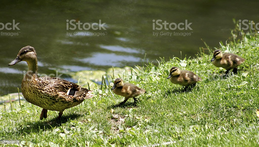 Ducks walking in a straight line stock photo