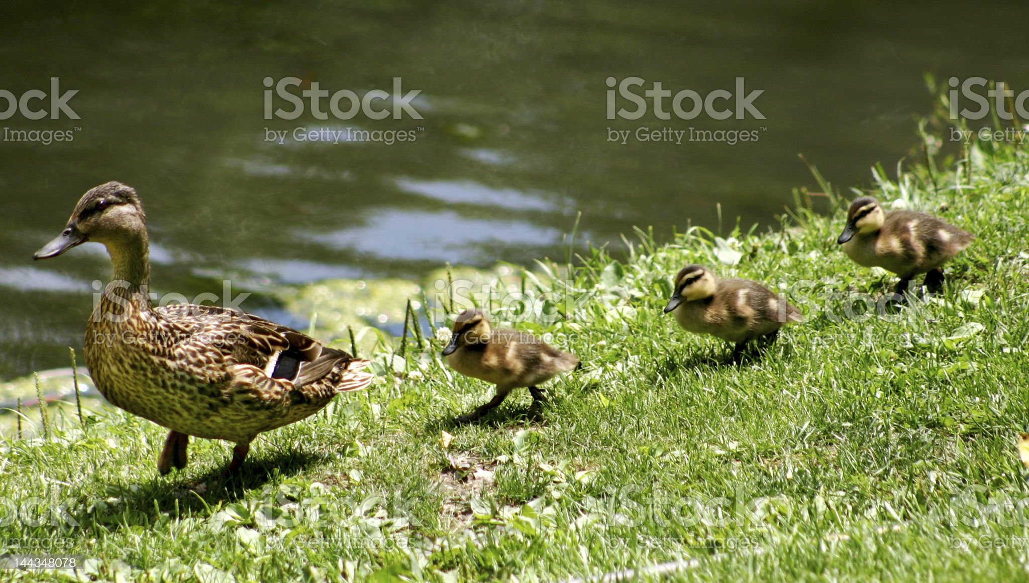 Ducks walking in a straight line royalty-free stock photo