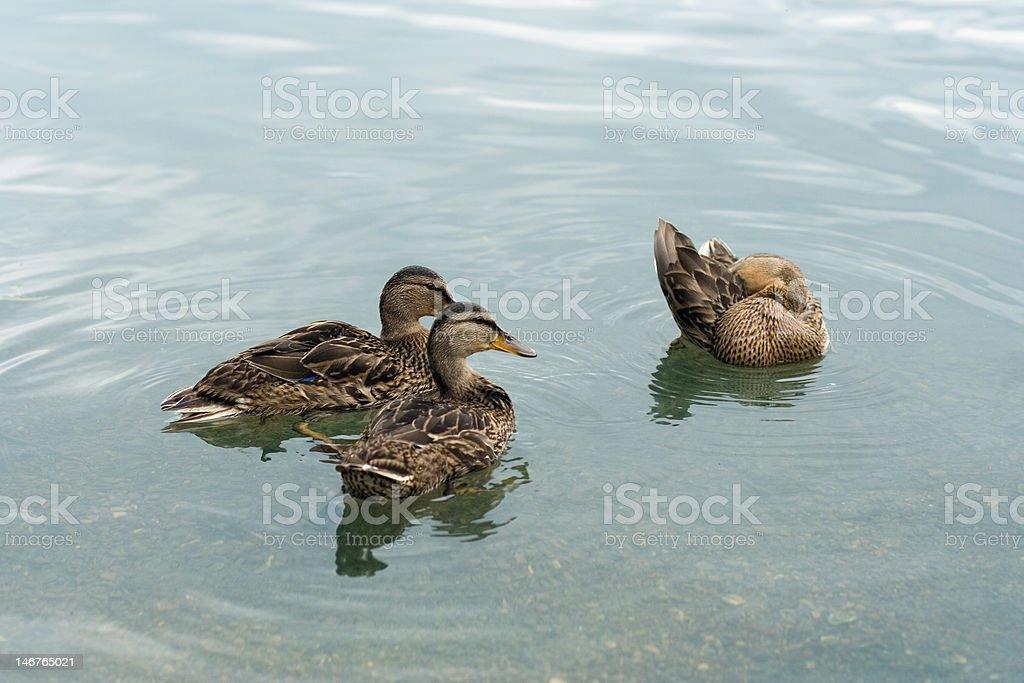 Observation des canards de l'étrange yoga Canard photo libre de droits